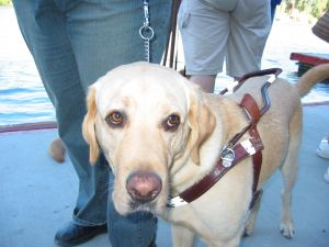 This guide dog is ready to go. Are you?